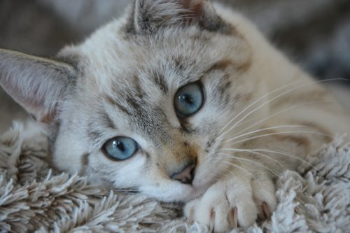What Is Irritable Bowel Syndrome in Cats?