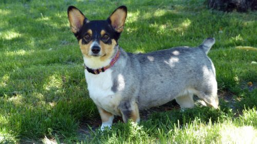 corgi personality traits