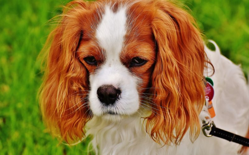 cavalier king charles spaniel training