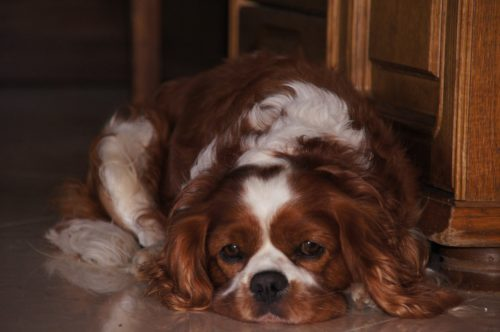 cavalier king charles spaniels health issues