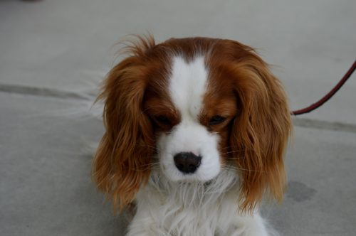 health problems of cavalier king charles spaniels
