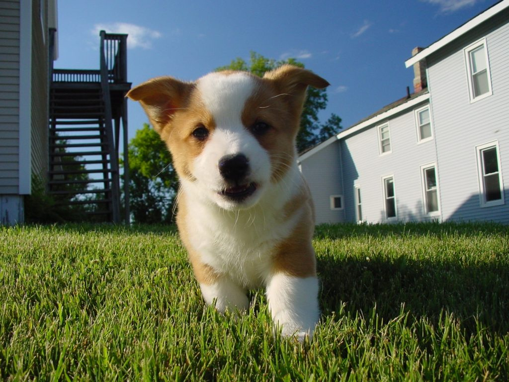 Corgi Personality Temperament Canna Pet