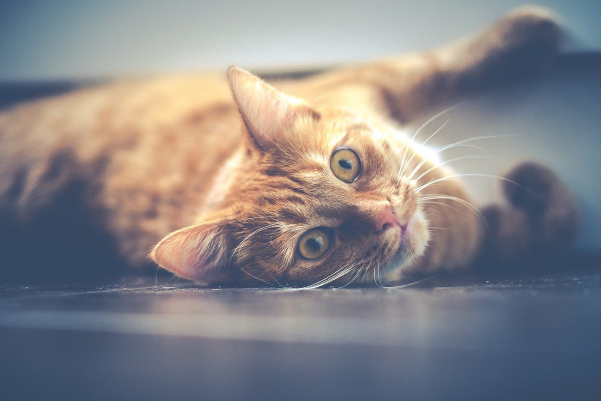 congestive heart failure in cats