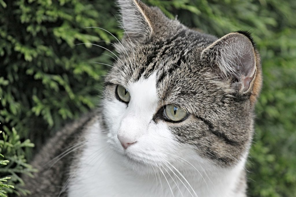 Hypothyroidism In Cats Signs Symptoms Canna Pet