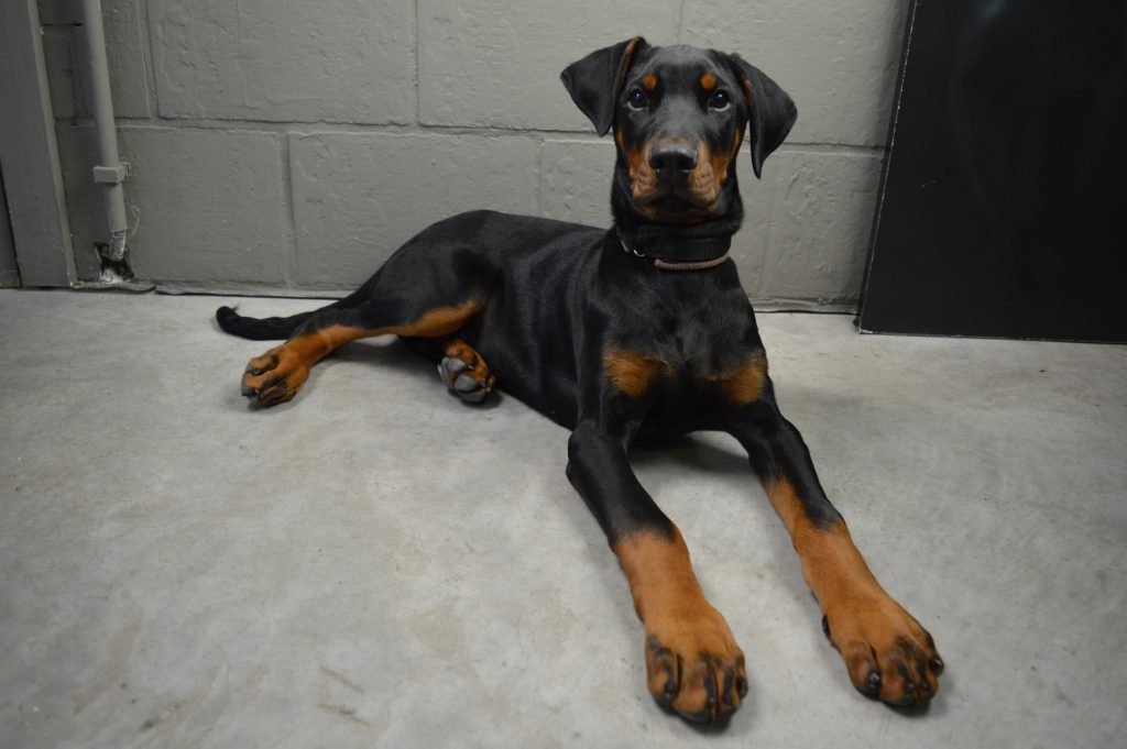 doberman pinscher how to train