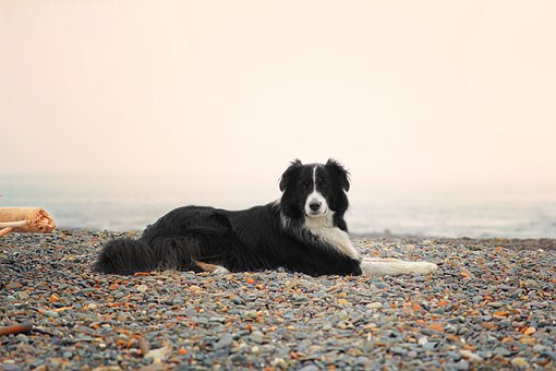 border collie lifespan average