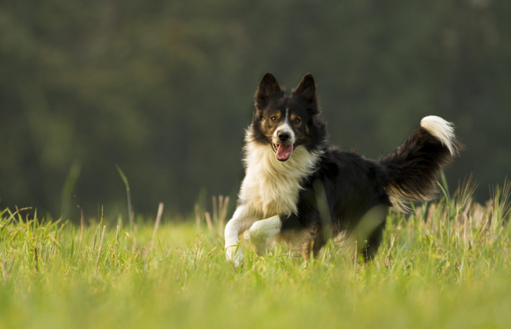 border collie lifespan