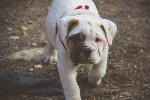 english bulldog training english bulldog training tips canna pet 174 5723