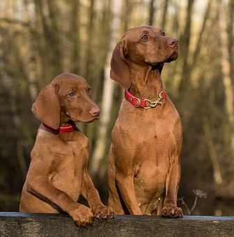 vizsla life expectancy