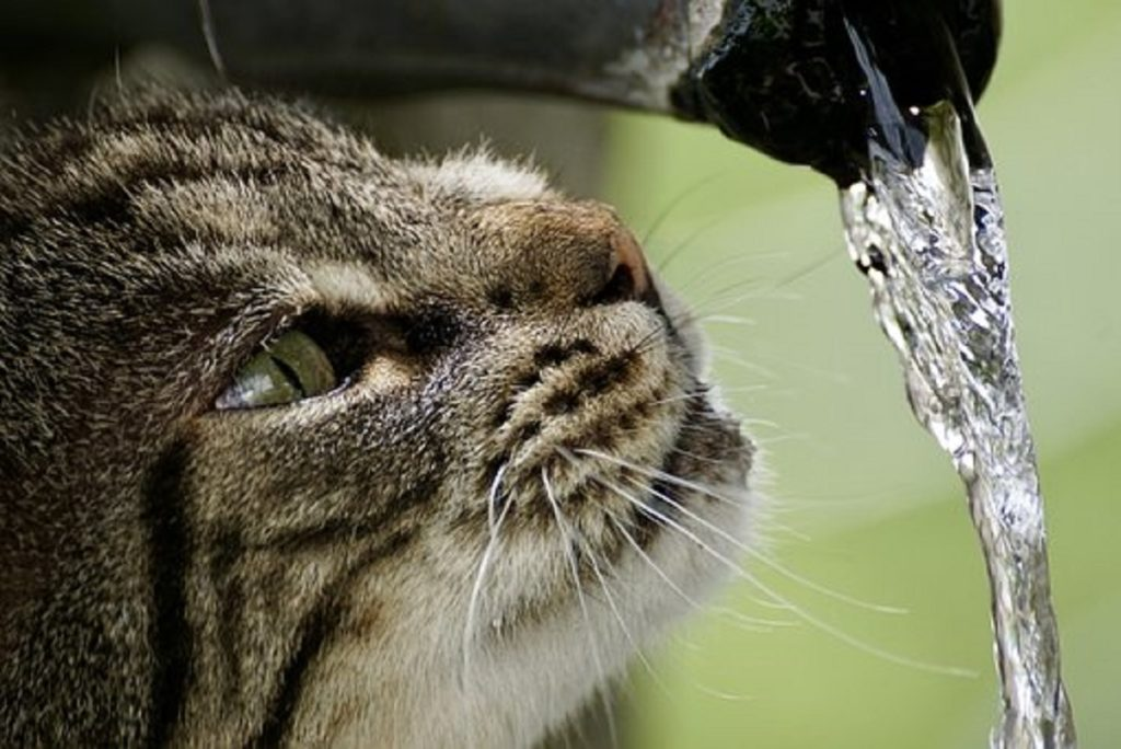 Cat drink water