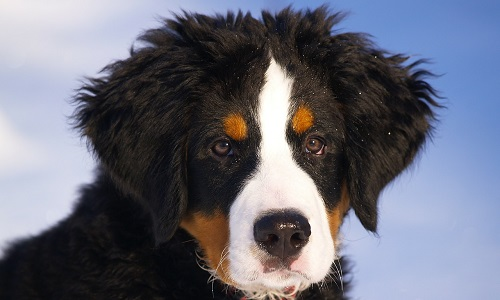 What Is The Bernese Mountain Dog Lifespan Canna Pet