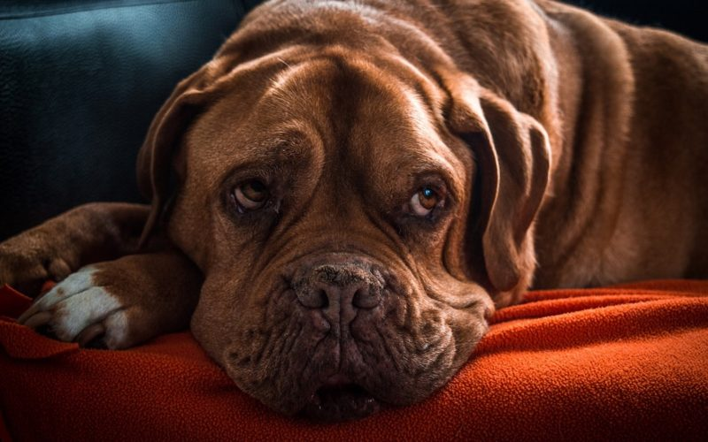 Why Is My Dog Whining After Anesthesia? | Canna-Pet®