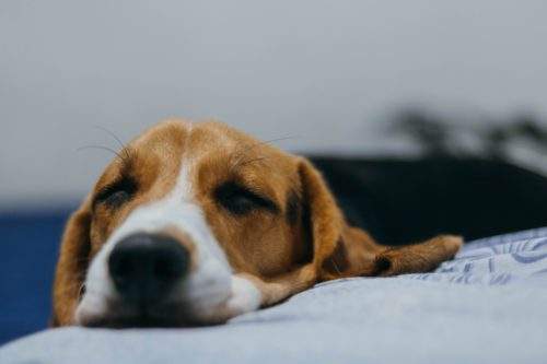 can a dog have sleep apnea