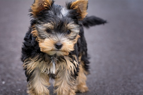How Do Yorkie Poos Get Canna Pet