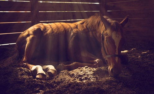 Young weanling horse lying down in stall with sunbeams shining through cracks