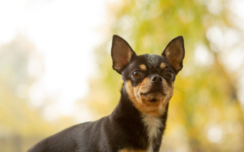 brown chihuahua dog standing and facing the camera